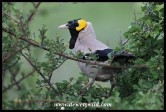 Wattled Starling (male in breeding colours)