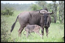 Newborn Blue Wildebeest