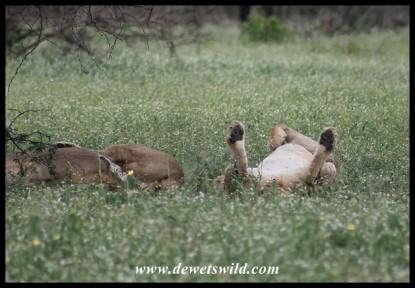 Lazy lionesses