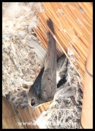 Little Swift hanging upside down at its nest