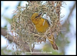 Even the young Lesser Masked Weavers are already building nests!
