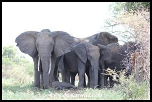 Elephants seeking shade during the midday heat