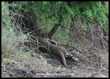 Leopard near Nwanedzi