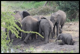 Elephants digging wells in a sandy riverbed