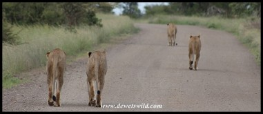 Four lionesses owning the road