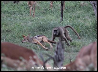 Baboon chasing a Black-backed Jackal