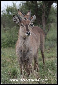 Waterbuck youngsters