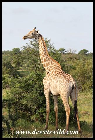 Light-coloured Giraffe