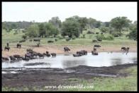 Big herd of Buffalo at Nsemani Dam
