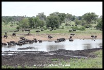 Big herd of Buffalo at Nsemani Dam