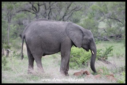 Elephant at Orpen Gate