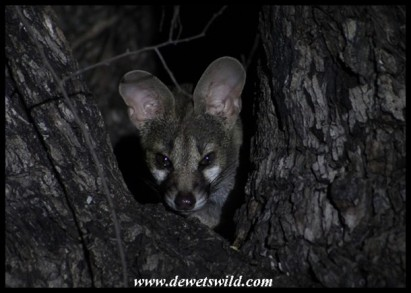 Large-spotted Genet in Tamboti