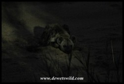 Spotted Hyena outside the fence at Tamboti