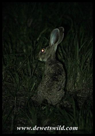 Scrub Hare inside Tamboti