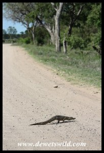 Baby Nicle Crocodile going for a stroll!