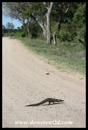 Baby Nile Crocodile going for a stroll!
