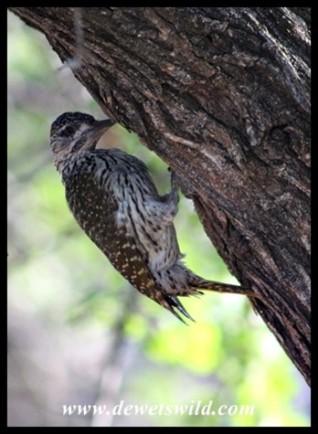 Golden-tailed Woodpecker at Nwanedzi