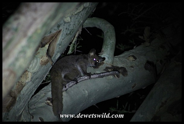 Thick-tailed Bushbaby