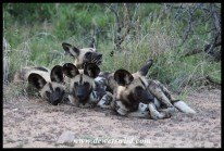 Painted Wolves, or African Wild Dogs