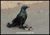 Burchell's Starling killing an Alpine Swift