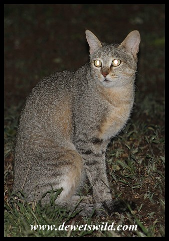 African Wild Cat in Satara