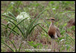 Temmink's Courser