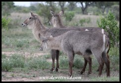 Waterbuck ewes on the S100