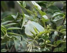 African Migrant (Butterfly)