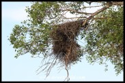 Buffalo Weaver nest