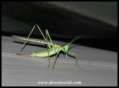 Bush Cricket (Clonia wahlbergii)
