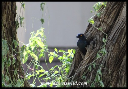 Cape Glossy Starling leaving its nest