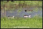 Knob-billed Ducks