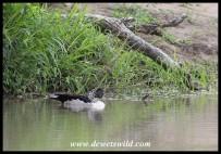 Knob-billed Duck