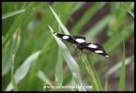 Common Diadem (male)