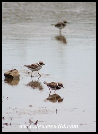 Common Ringed Plovers