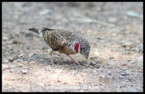 Cut-throat Finch male
