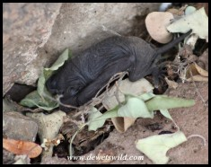 Free-tailed Bat youngster that dropped from the roost trying to hide in leaf litter
