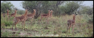 Impalas alert after noticing a prowling pride of lions