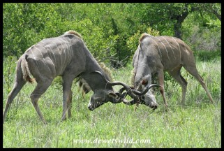 Kudu bulls fighting (photo by Joubert)
