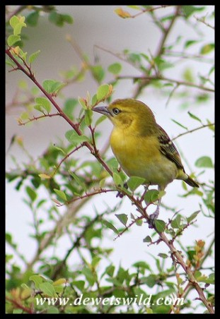 Lesser Masked Weaver Female