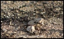 Matabele Ants