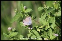 Patrician Blue