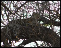 Early morning catches a languid leopardess straddling a branch