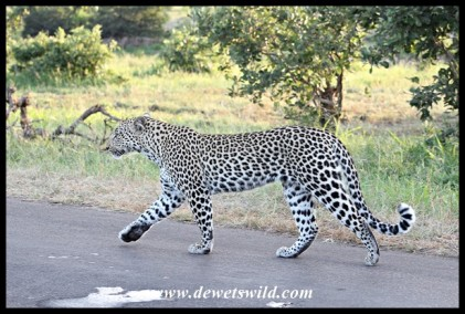 Now out of the tree, the leopardess walks towards the male...