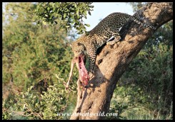 Leopard male and kill