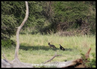 A jackal and hooded vulture moving in for a closer look