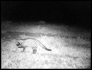 African Civet caught on our trail cam next to Satara's fence
