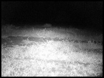 Large-spotted Genet outside Satara's fence