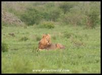 Lion (photo by Joubert)