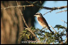 Male Red-backed Shrike (photo by Joubert)